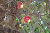Shivling flower